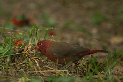 red-billed fire finch
