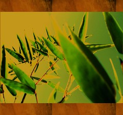 Greeting card (for free !) - Phyllostachys Aurea