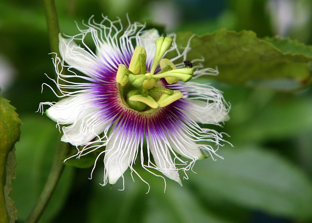 Passiflora edulis with fly