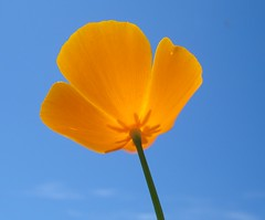 eschscholzia californica, flower, yellow, plant, macro photography, wildflower, flora, plant stem, sky, petal, poppy,