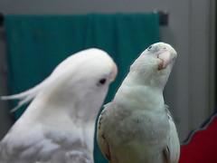 sulphur crested cockatoo(0.0), parakeet(0.0), african grey(0.0), cockatoo(1.0), animal(1.0), lovebird(1.0), parrot(1.0), wing(1.0), pet(1.0), fauna(1.0), cockatiel(1.0), beak(1.0), bird(1.0),