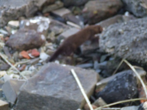 Bad picture of an otter