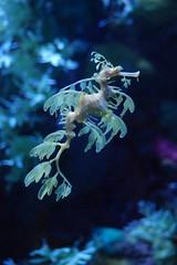 seahorse, organism, marine biology, underwater, reef, aquarium,
