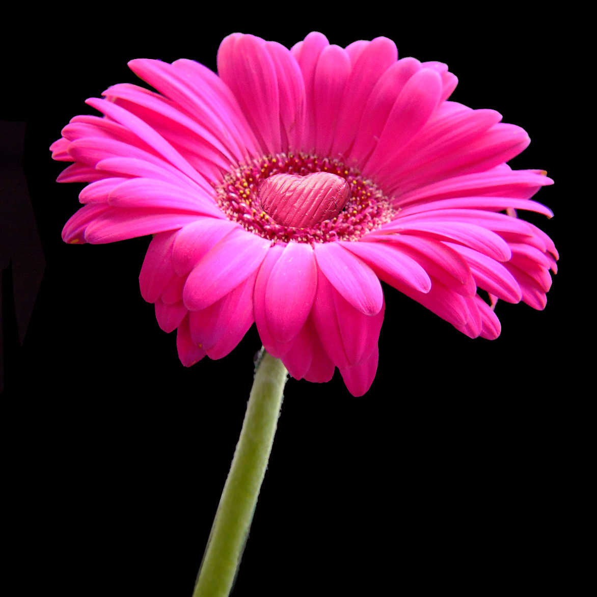 Chocolate heart on a pink gerbera daisy flower for you square