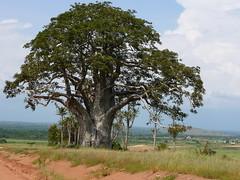 soil, tree, plain, plant, adansonia,