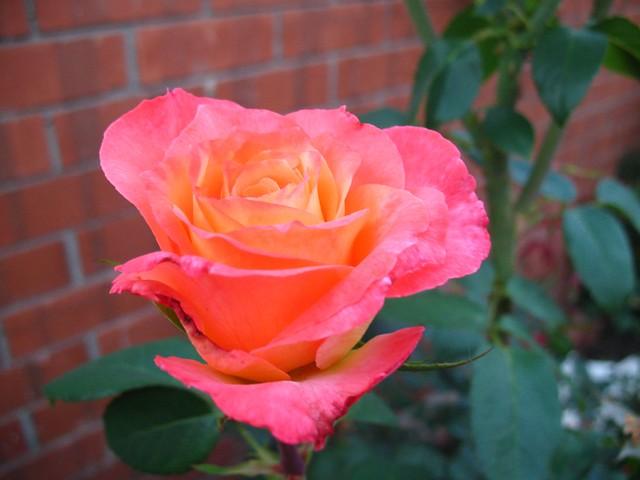 Joyfulness Rose In My Backyard Flickr Photo Sharing