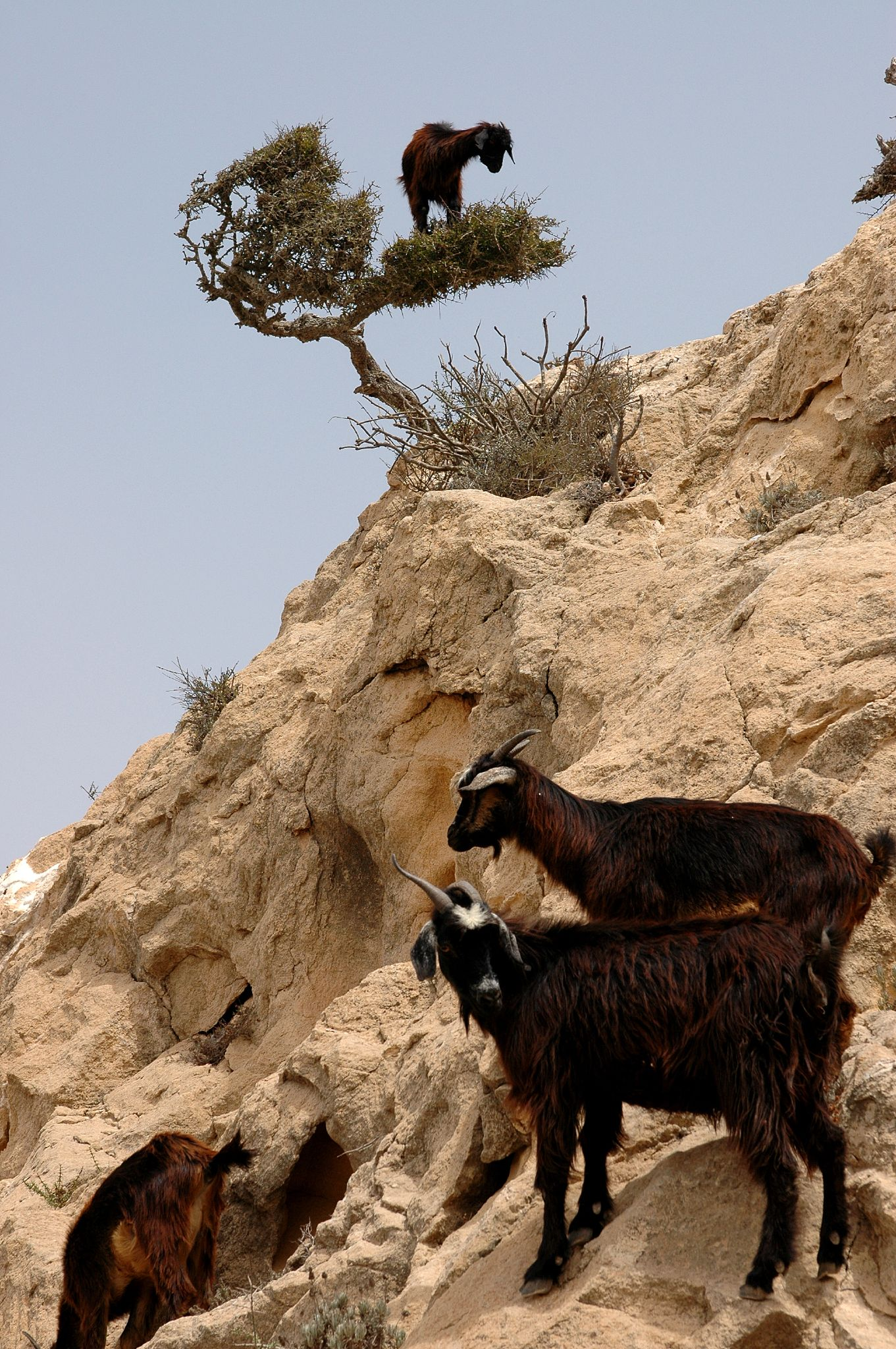 Funny Pictures Of Goats Goats in Argan Tree, n...