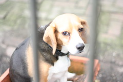 351169452 ad49bed624 m Beagle Dog Breed: Fun loving Family Pet