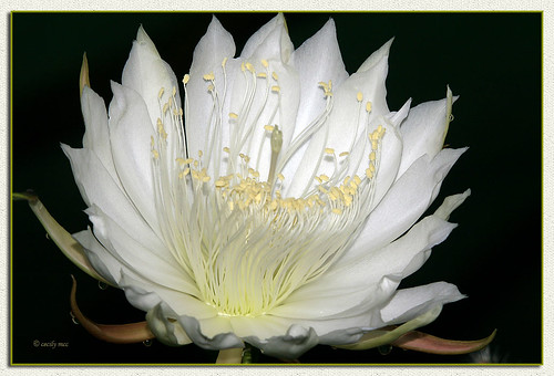 Queen Of The Night - Selenicereus Grandiflorus