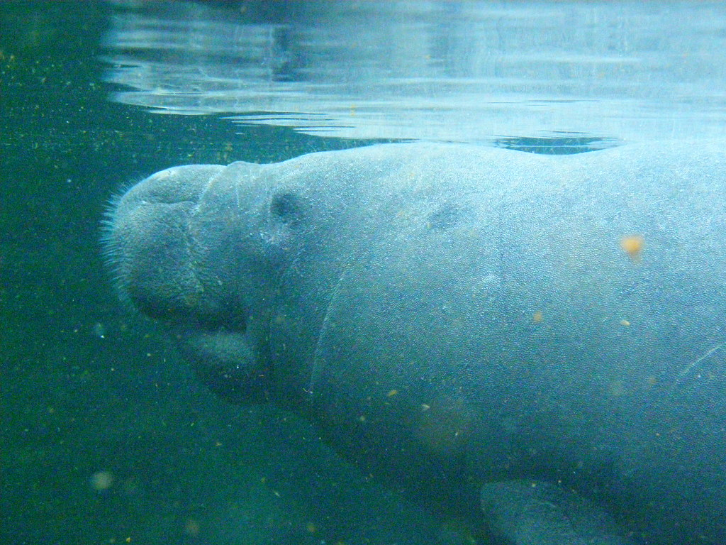 Antillean Manatee - Photo (c) frank wouters, some rights reserved (CC BY)