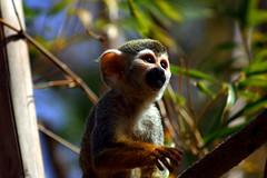 kinkajou(0.0), animal(1.0), monkey(1.0), mammal(1.0), squirrel monkey(1.0), fauna(1.0), new world monkey(1.0), jungle(1.0), wildlife(1.0),
