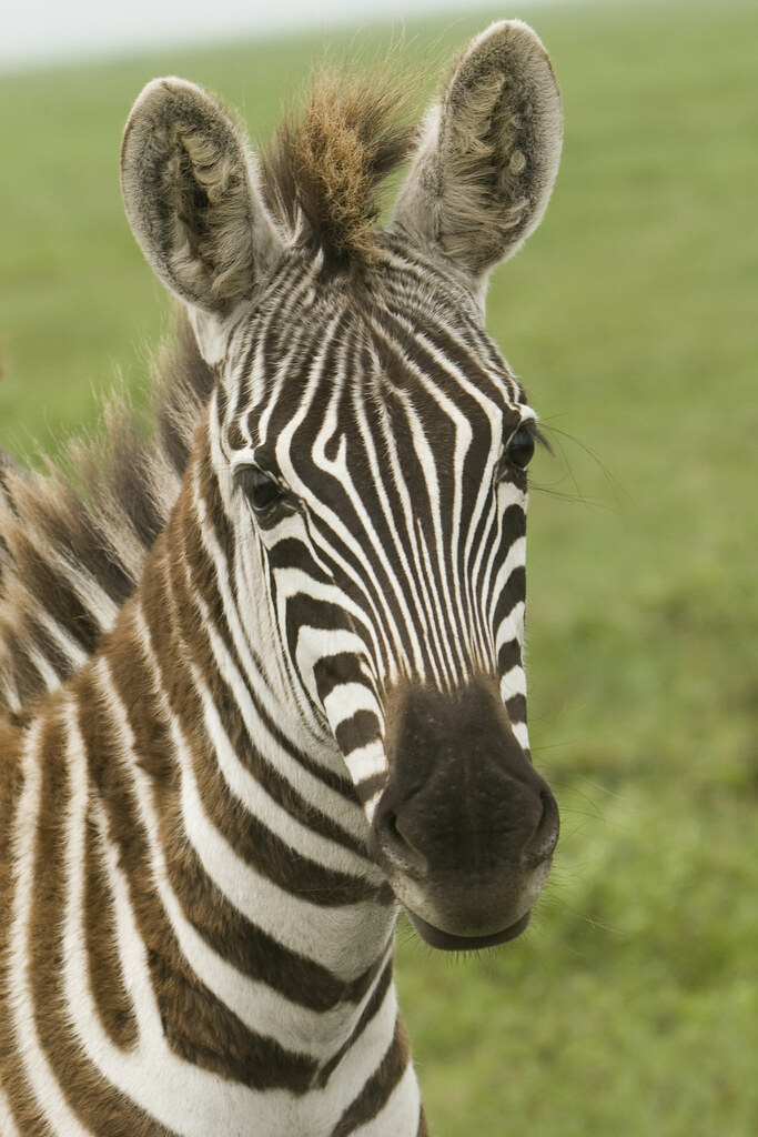 Pictures of Zebras -- Animal Photos!