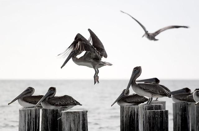 Pelican Ballet