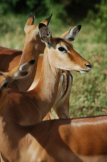 Gaggle of female Impala