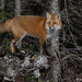 Male Red Fox by naturethroughmyeyes.com