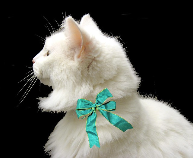 This is Andrea, an elegant white cat whose owner died. ~ EXPLORED