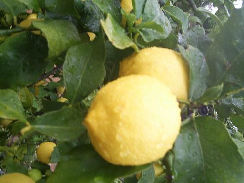 Lemons, in Australia