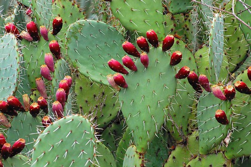 Cacti in fruit