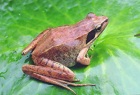 B882拉都希氏赤蛙