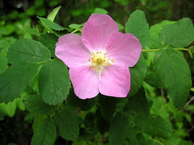 alberta national flower wild rose from elk island park. Black Bedroom Furniture Sets. Home Design Ideas