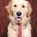 Dog - Golden Retriever IMG_7633
