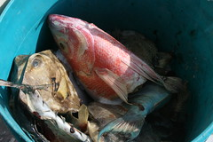 animal, fish, fish, red snapper,