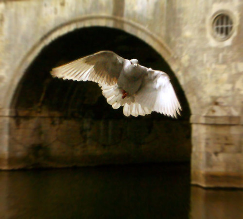 Pigeon framed by arch of Pulteney Bridge