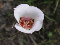 blossom(0.0), peony(0.0), poppy(0.0), flower(1.0), nature(1.0), calochortus(1.0), macro photography(1.0), wildflower(1.0), flora(1.0), close-up(1.0), calochortus nuttallii(1.0), petal(1.0),