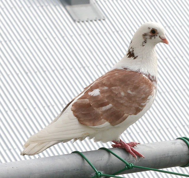 Brown and white pigeon