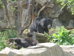 animal, american black bear, zoo, mammal, fauna, jungle, bear, wildlife,