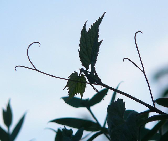 Vine tendrils at dusk