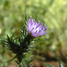 Italian thistle - Photo (c) Dawn Endico, some rights reserved (CC BY-SA)