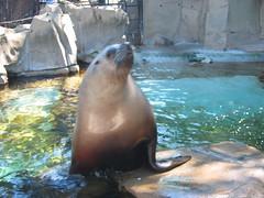 Sea Lion at the Vancouver Aquarium