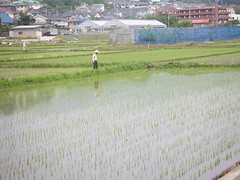 Rice planting, Finish