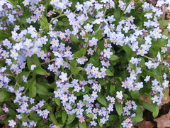 annual plant, flower, plant, herb, wildflower, forget-me-not,
