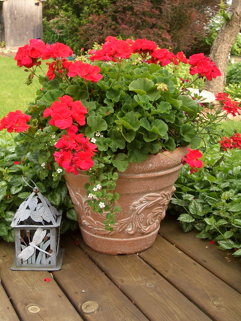geranium lovely potted geranium and lantern by lambchops flickr photo
