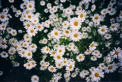 chrysanths(0.0), asterales(1.0), annual plant(1.0), flower(1.0), plant(1.0), marguerite daisy(1.0), chamaemelum nobile(1.0), daisy(1.0), flora(1.0), oxeye daisy(1.0), daisy(1.0),