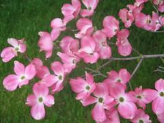 plant(0.0), lathyrus latifolius(0.0), hesperis matronalis(0.0), annual plant(1.0), flower(1.0), flora(1.0), snapdragon(1.0), pink(1.0), petal(1.0),