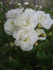 rosa wichuraiana, garden roses, rosa 㗠centifolia, floribunda, flower, flora, rosa multiflora, rosa pimpinellifolia, petal,