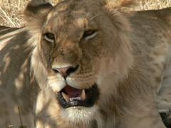 nose(1.0), animal(1.0), mane(1.0), big cats(1.0), masai lion(1.0), lion(1.0), snout(1.0), mammal(1.0), fauna(1.0), whiskers(1.0), safari(1.0), wildlife(1.0),