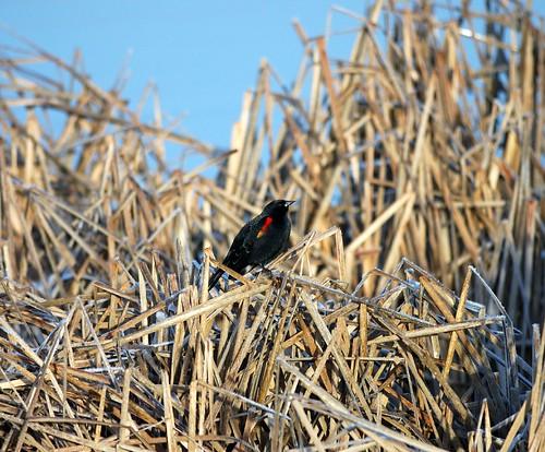 red birds oregon or millpond vernonia columbiacounty vernoniaor vernoniaoregon vernonialake lakevernonia columbiacountyoregon columbiacountyor