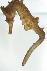 Hippocampus coronatus