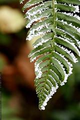 frozen fern    MG 7223