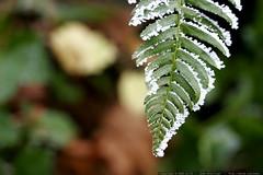 frozen fern    MG 7226