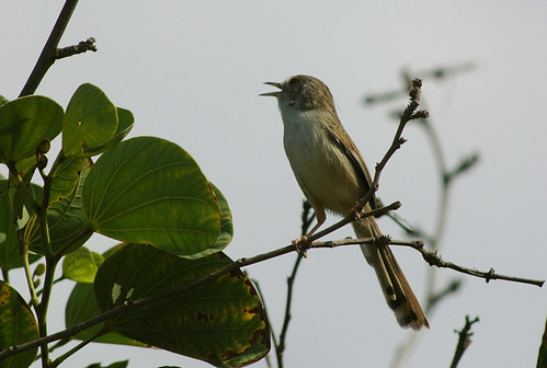 Graceful Warbler's song