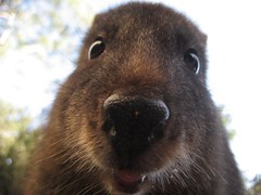 nose(1.0), animal(1.0), rodent(1.0), snout(1.0), fauna(1.0), close-up(1.0), capybara(1.0), whiskers(1.0), wildlife(1.0),