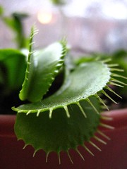 Virgil the Venus Flytrap