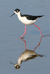 sandpiper(0.0), animal(1.0), charadriiformes(1.0), wing(1.0), fauna(1.0), stilt(1.0), shorebird(1.0), beak(1.0), bird(1.0),