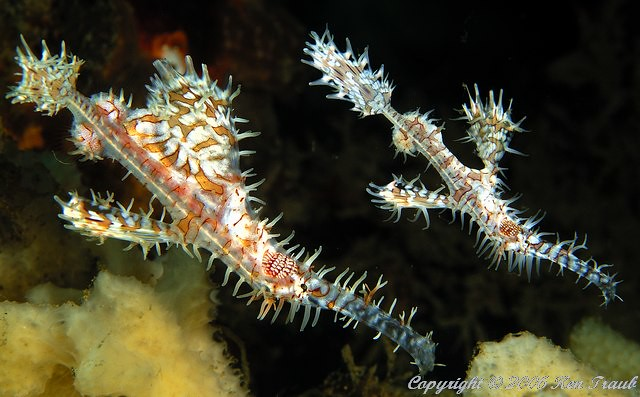 9653 pair Ornate ghost pipefish