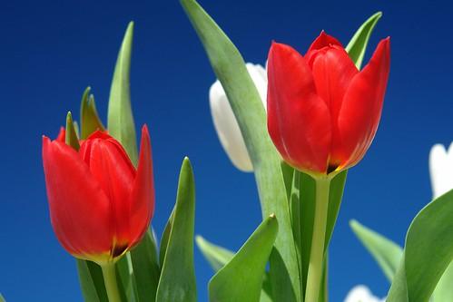 Weekend Tulip